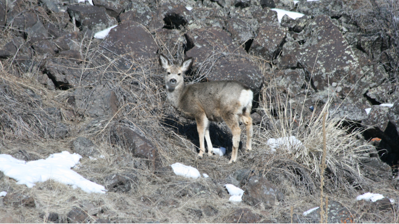 A mule deer fawn looking for food on south facing slopes where snow melts faster.